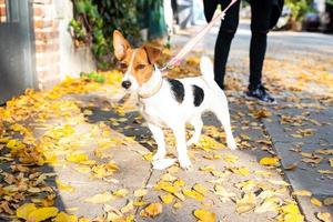 Jack Russell Terrier going for a walk photo