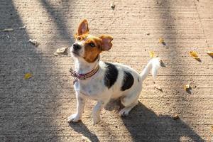 Jack Russell Terrier esperando pacientemente