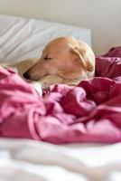 Greyhound sleeping on bed photo