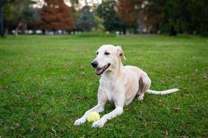 Greyhound sitting in grass