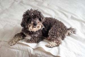 Small Poodle on a bed