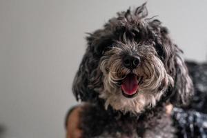 Shaggy Poodle looking at camera