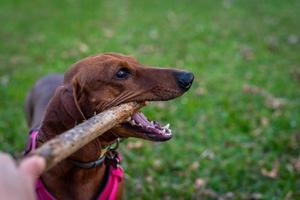 Dachshund playing with a stick photo