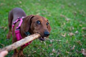 Smooth Dachshund playing with a stick