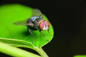 Green bottle fly on leaf