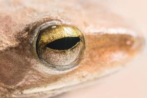ojo de rana macro