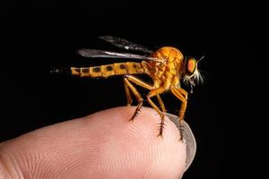 Robber fly on finger
