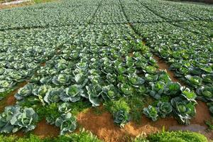 Vegetable garden cabbage field