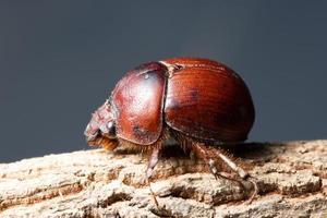 Brown scarab beetle photo