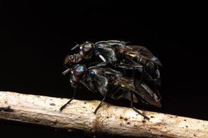 apareamiento de moscas de la fruta negra foto
