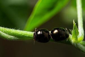 Black scarab macro beetles