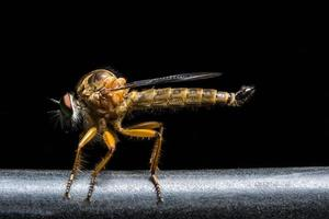 Close up of robber fly on black background