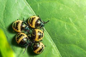 grupo de escarabajo en hoja