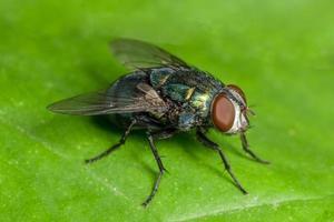 mosca de la casa macro foto