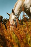 White horse eating in field