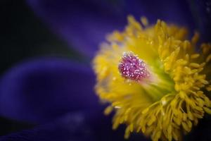 Yellow and blue flower photo