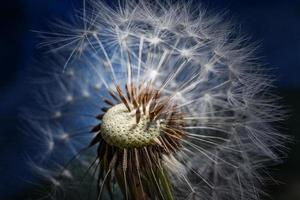 Close-up of white dandelion seed head