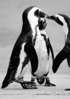 Grayscale of three penguins