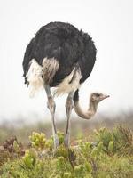 avestruz de pie en la hierba