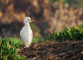 Selective focus of intermediate egret