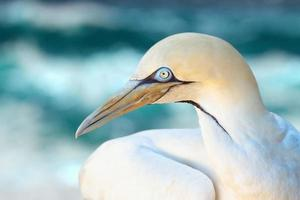 Close-Up of northern gannet