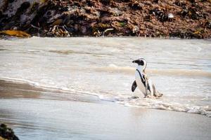 Penguin walking onto beach photo