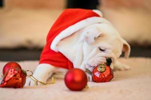 bulldog en navidad