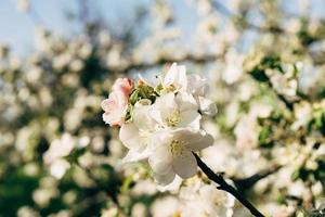 White apple blossom photo