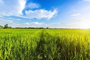 Bright green sunny cornfield  photo