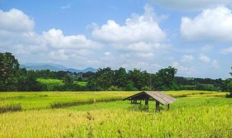 An old hut in the yellow- green rice field.