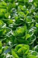 Fresh butterhead lettuce leaves
