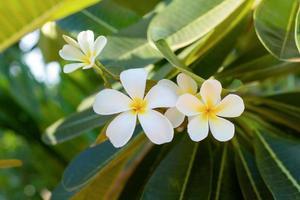 Close-up of plumeria flowers photo