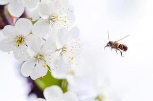Bee flying toward flowers photo
