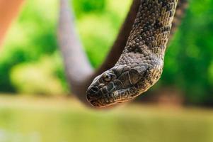 Large brown water snake photo