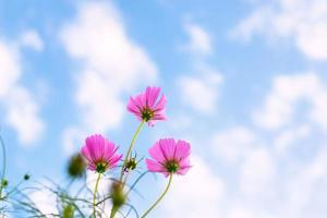 Pink cosmos flowers photo