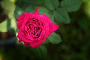 rode roos in een tuin