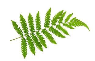 Fern leaf on white background  photo