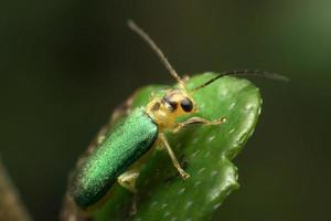 Green beetle on green leaf background