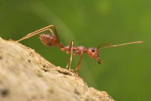 Red ant marches downward