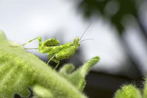 Green mantis on green leaf