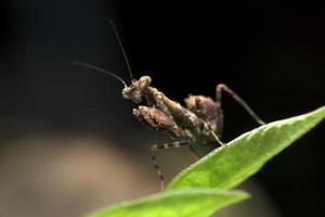 Brown Praying Mantis on green leaf
