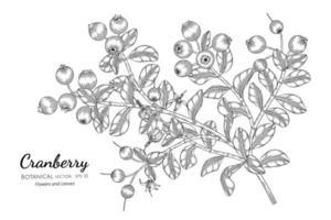 Hand drawn cranberry fruit plant vector