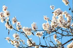 flores de cerezo blanco