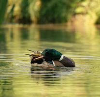 pato real sobre el agua