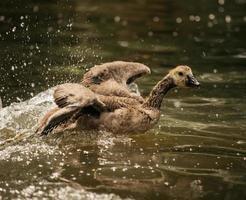 Brown duck splashes in water