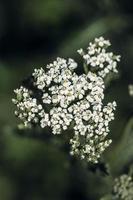 White flower buds in tilt shift lens photo