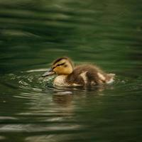 Brown duck swims in water