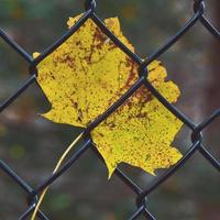 Selective focus of yellow leaf of fence