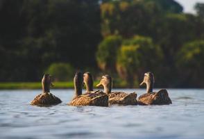 Five brown ducks In body of water