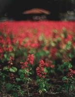 Red flowers with green leaves photo